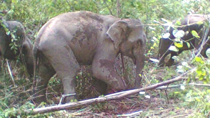Tanaman Kakao Petani di Aceh Timur Habis Dimakan Gajah