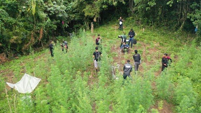 Satuan Intelkam Polres Bireuen, berhasil memusnahkan sekitar dua hektar ladang ganja, di kawasan pegunungan Desa Krueng Meuseugob, Kecamatan Simpang Mamplam, Bireuen, Sabtu (4/1/2020)