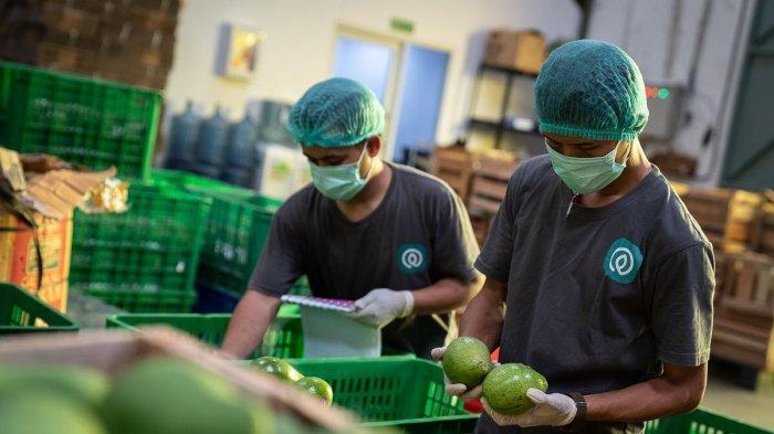 Aktivitas packaging alpukat di gudang TaniHub. Produk-produk pertanian yang diserap TaniHub seperti buah dan sayuran banyak diserap oleh modern channel, horeka dan modern store.
