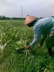 Baru Mulai Tumbuh, Ratusan Hektare Tanaman Jagung di Lampung Tengah Diserang Hama Ulat, Gagal Panen