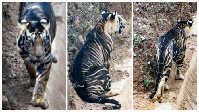 Harimau Hitam yang Sudah Langka Tertangkap Kamera Berjalan di Sebuah Tanggul di India