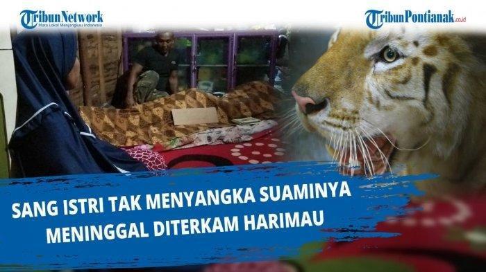 Tragedi 2 Harimau Lepas di Sinka Zoo: Eka Tewas Ditembak Peluru Tajam, Tora Ditembak Obat Bius