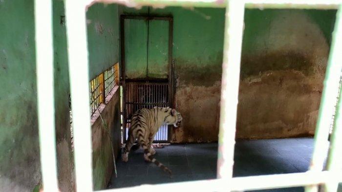 harimau lepas di pontianak 90