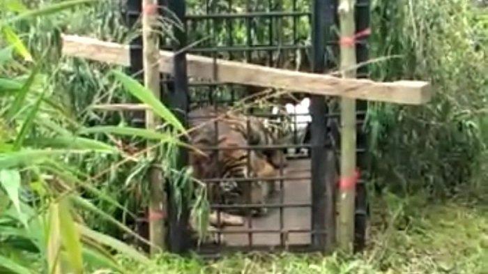 Harimau Sumatera (panthera trigis sumatrae) yang berkeliaran di pemukiman warga berhasil masuk perangkap yang dipasang Balai Konservasi Sumber Daya Alam (BKSDA) Sumatera Barat (Sumbar), Minggu (6/12/2020) pagi.
