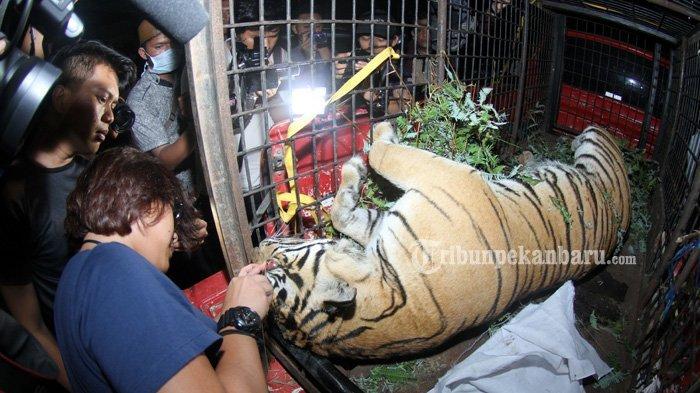Harimau Sumatera yang Mati Terkena Jerat di Kuansing Ternyata Sedang Mengandung
