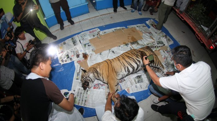Kematian Harimau Sumatera di Kuansing akibat Ginjal Pecah Terkena Jeratan