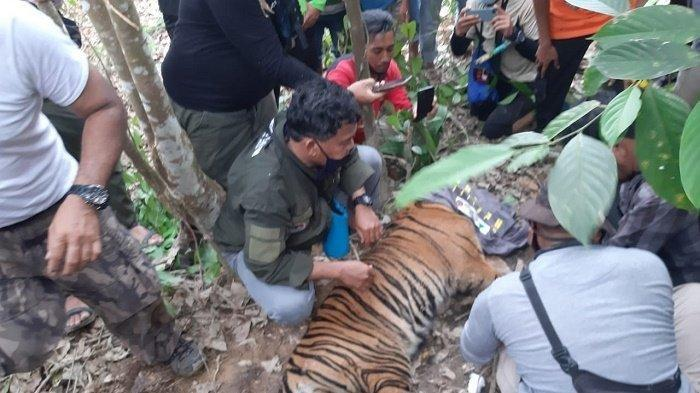 Harimau Sumatera Terjerat di Perkebunan Warga, Kini Dirawat BKSDA Resort Aceh Tenggara
