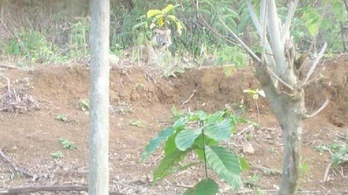 Warga Pagaralam dan Lahat Masih Diteror Kehadiran Harimau Sumatera