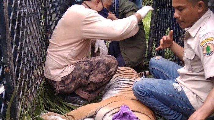 Harimau yang Masuk Perangkap BKSDA Aceh dalam Kondisi Sakit