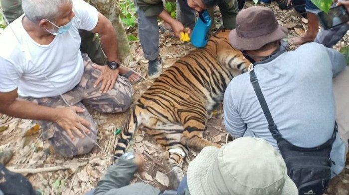 Seekor Harimau Sumatera terjerat di perkebunan masyarakat di Gampong Gulo, Kecamatan Darul Hasanah, Aceh Tenggara, Sabtu (23/1/2021).