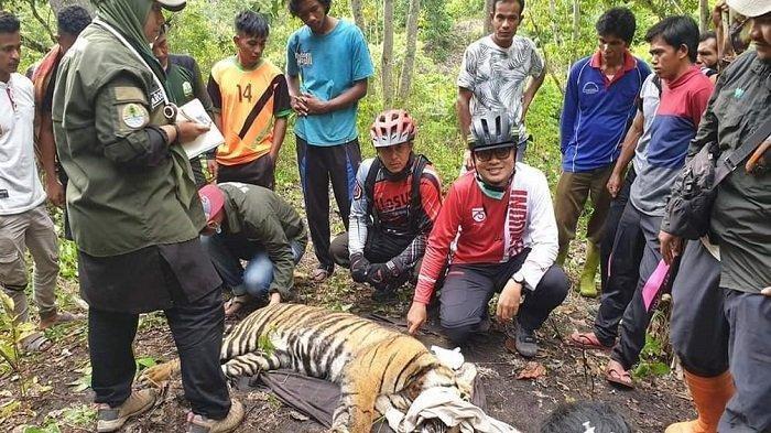 Sempat Kritis dan Setengah Lumpuh, Begini Kondisi Harimau Betina yang Terjerat Jaring Babi di Aceh