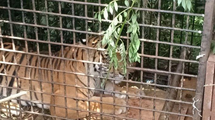 Harimau Tertangkap Setelah Masuk Perangkap Berumpan Kambing Warga di Muaraenim