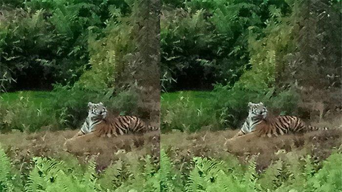 Kebakaran Hutan di Taman Nasional Jambi, Harimau Sumatera Berkeliaran di Pemukiman Warga
