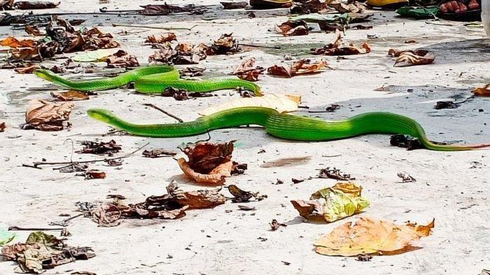 Heboh Penemuan Ular Mematikan di Lapangan Sewu Solo, Jumlahnya 11 Ekor dan Berjenis Viper