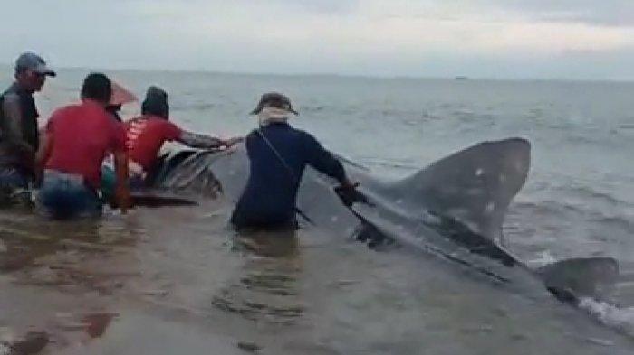 Hiu Tutul Sepanjang 7 Meter Mati setelah Terdampar di Pantai Pesisir Selatan