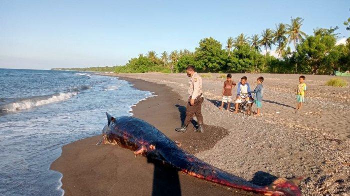 Bangkai Hiu Paus Terdampar di Pantai Dusun Teluk Lombok Utara, Sudah Keluarkan Bau Busuk