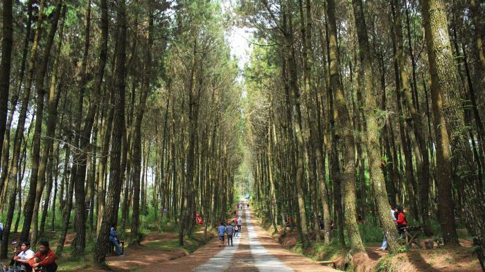 Hutan Pinus di Lereng Merbabu Ini Lagi Hits di Media Sosial, Suasananya Keren untuk Selfie