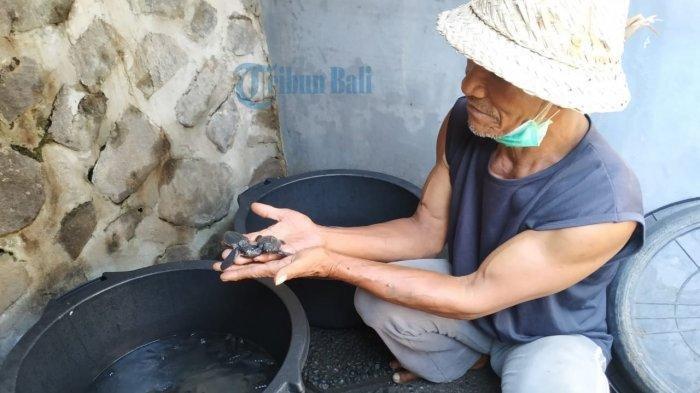Cerita Penjaga Telur Penyu di Pesisir Watu Klotok, Ribuan Telur Gagal Menetas karena Air Pasang