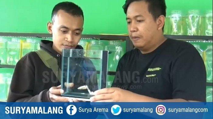 Pria Madiun Rela Beli 4 Ekor Ikan Cupang Super Gold Pakai Emas Batangan Nilainya Rp 1 Juta Tribunnews Com Mobile