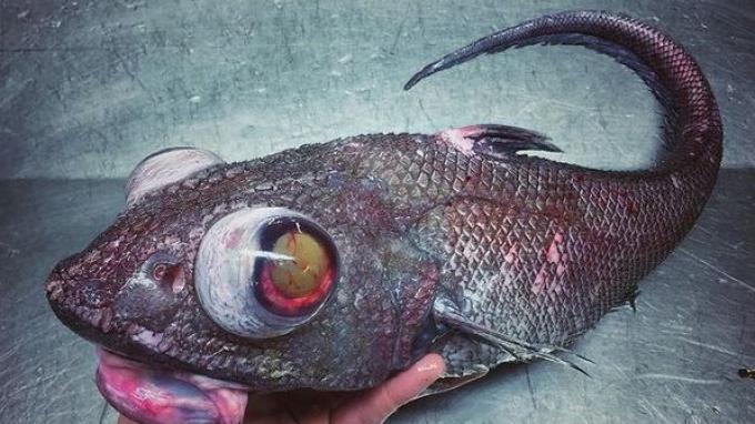 Ikan dari laut kedalaman yang ditemukan Roman Fedortsov.