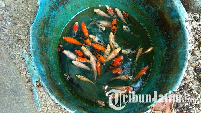Ikan Koi Mati karena Listrik Padam, PLN Digugat