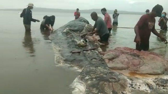 Bangkai Ikan Paus 9,5 Meter Terdampar di Wakatobi