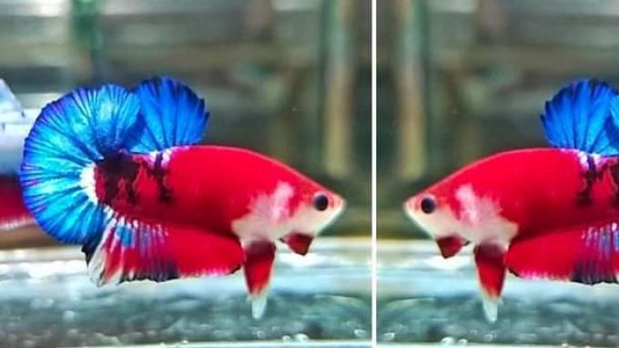 Cegah Merebaknya Penyakit DBD, Warga Jakarta Diajak Pelihara Ikan Cupang