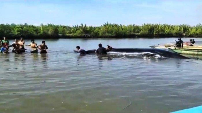 Geger Temuan Paus Berukuran 8 Meter di Perairan Desa Ujungmanik