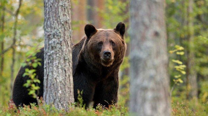 Beruang Dikabarkan Masuk Kampung di Lampung Barat Lalu Memangsa Belasan Kambing, Warga Tak Berdaya