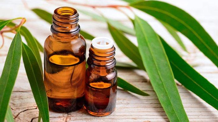 ILUSTRASI eucalyptus oil atau minyak eucalyptus.
