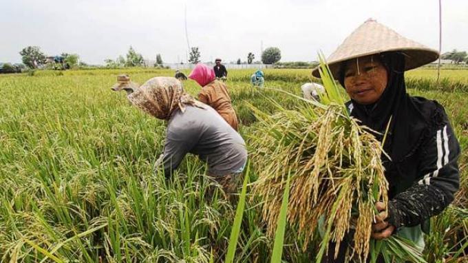 Akademisi IPB: Fakta Food Estate Kalimantan Tengah Berhasil Berproduksi