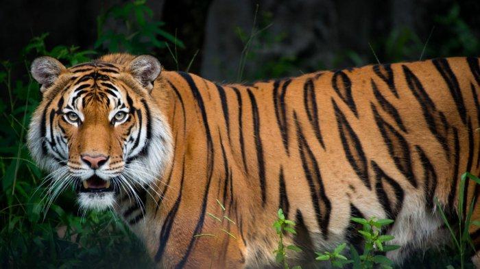 Tidur di Gubuk, Tubuh Pemuda Aceh Timur Ditarik Harimau dan Dadanya Dicakar