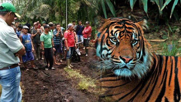 BREAKING NEWS: Kuswanto Dikabarkan Tewas Diterkam Harimau