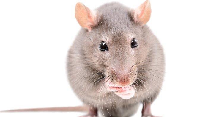 Cara Mengusir Berbagai Hewan dan Serangga yang Masuk ke Dalam Rumah, dari Tikus hingga Kecoak