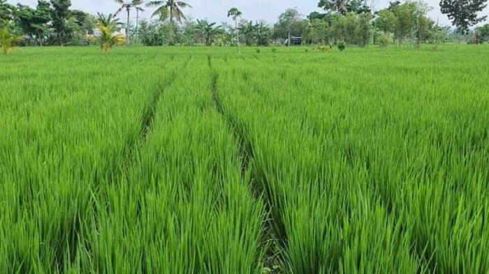 Pertanian Tumbuh Positif, Gus Ami Dorong Pemerintah Lebih Perhatikan Petani