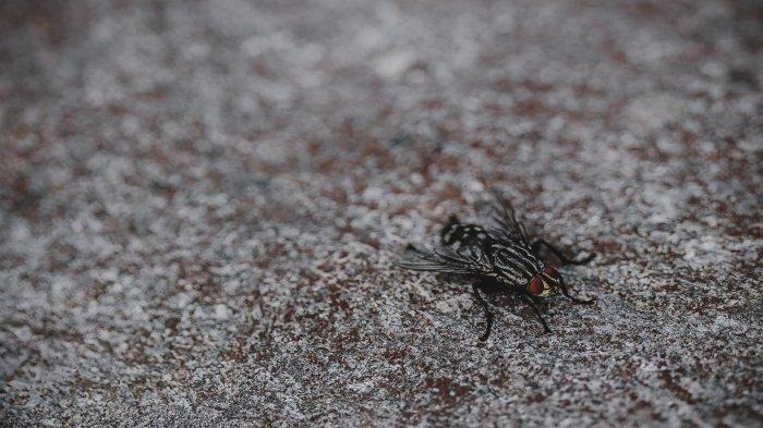 Ilustrasi lalat.