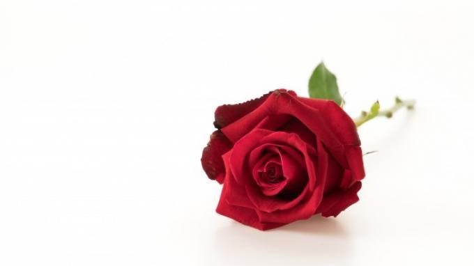 Cerahkan Kulit Wajah hingga Samarkan Kantung Mata Hanya dengan Air Mawar, Begini Caranya