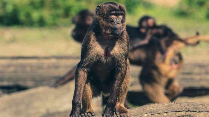 Ilustrasi monkeypox atau cacar air