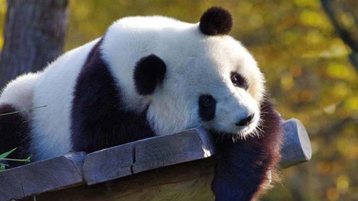 Ilustrasi panda.