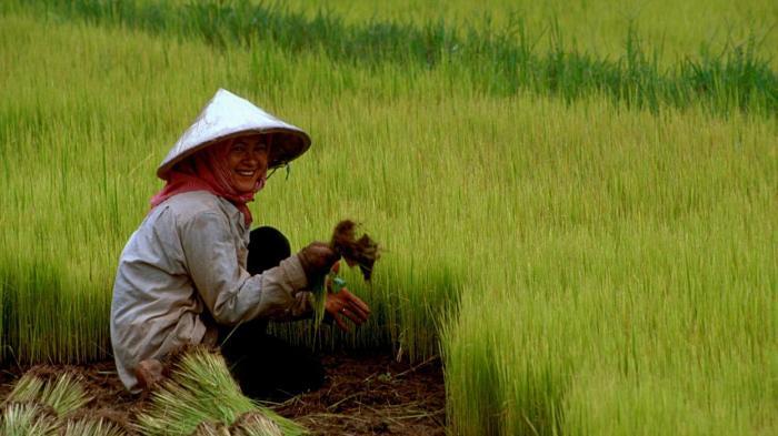 Kini Petani Gagal Panen Bisa Terima Ganti Rugi Rp 6 Juta Per Hektar