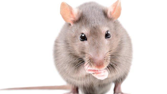 Cara Usir Tikus di Rumah Tanpa Pakai Racun: Gunakan Minyak Esensial hingga Larutan Cabai