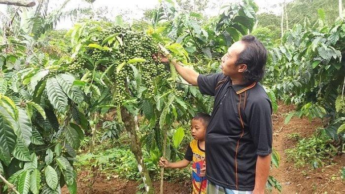 Kurangi Resiko Longsor, Dinas Pertanian Banjarnegara Kembangkan Tanaman Kopi di 6 Kecamatan