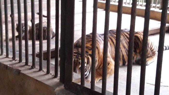 Induk Harimau Sumatera di Bukittinggi Melahirkan 2 Anak Berjenis Kelamin Betina