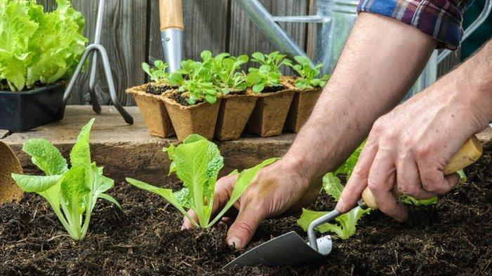 Penting! Siapkan Hal-hal Ini Sebelum Menanam Sayuran di Halaman Rumah