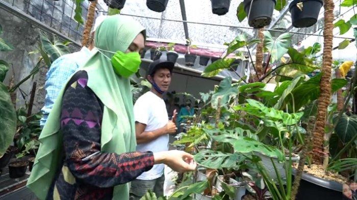 Cari Tanaman Hias Janda Bolong Kartika Putri Syok Saat Tahu Harganya Tribunnews Com Mobile