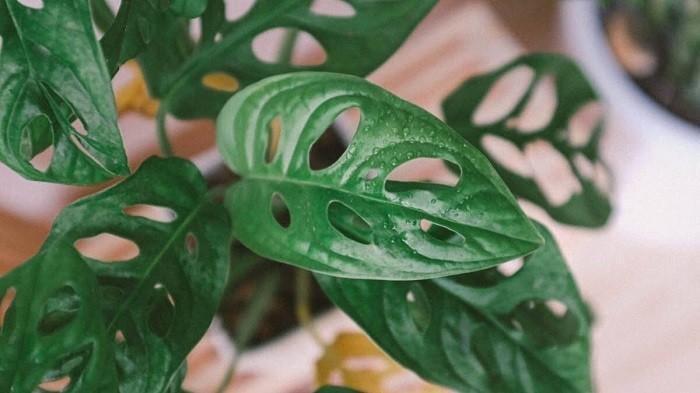 Tanaman hias janda bolong atau nama latinnya monstera saat ini lagi naik daun karena harganya bisa mencapai puluhan juta rupiah.