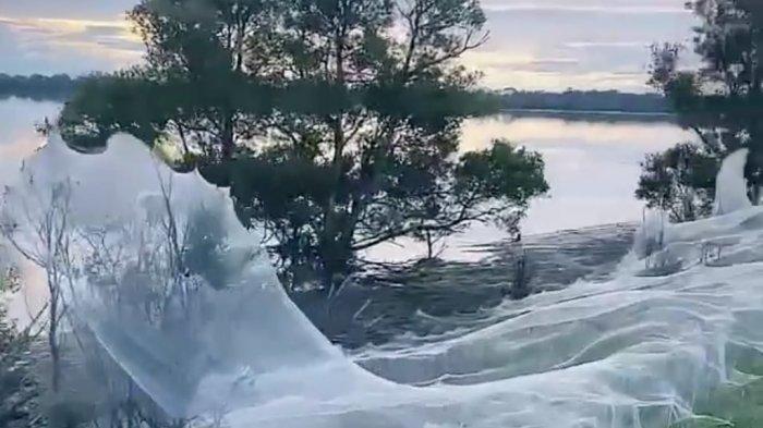 Usai Dilanda Banjir, Kota di Australia Diselimuti Hamparan Jaring, Jutaan Laba-laba Bikin Sarang