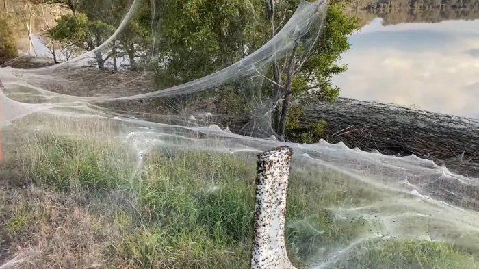 Menurut kurator senior entomologi di Museum Melbourne, Dr Ken Walker, jumlah laba-laba di jaring-jaring ini bisa mencapai jutaan.