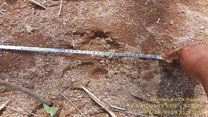 Petugas mengukur jejak kaki harimau yang ditemukan di Desa Singapure Lahat.