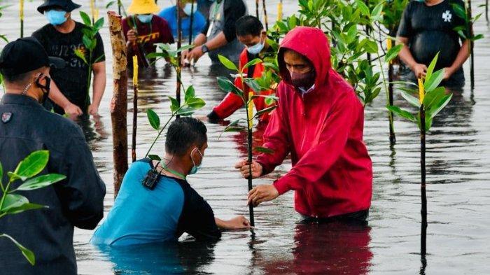 Presiden Jokowi Ikut Nyemplung Saat Tanam Mangrove Bersama Masyarakat di Pantai Setokok Batam